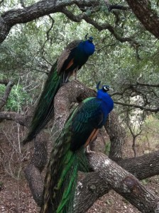 Hill Country peacocks in tree